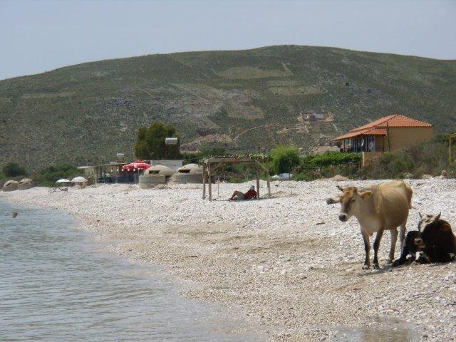 Albánie krávy